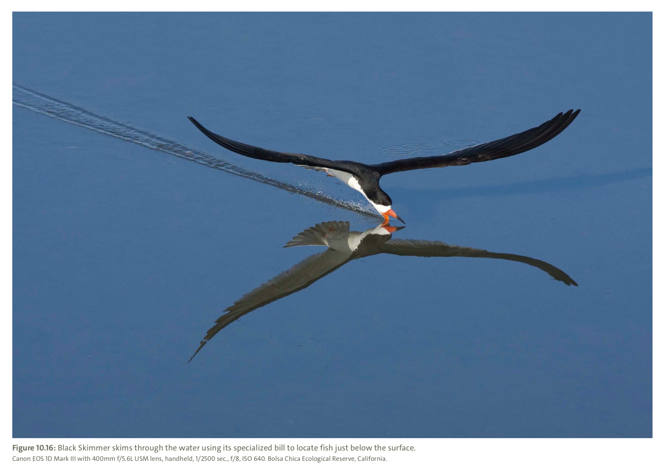 Figure 10.16 from Mastering Bird Photography  Photo: Marie Read