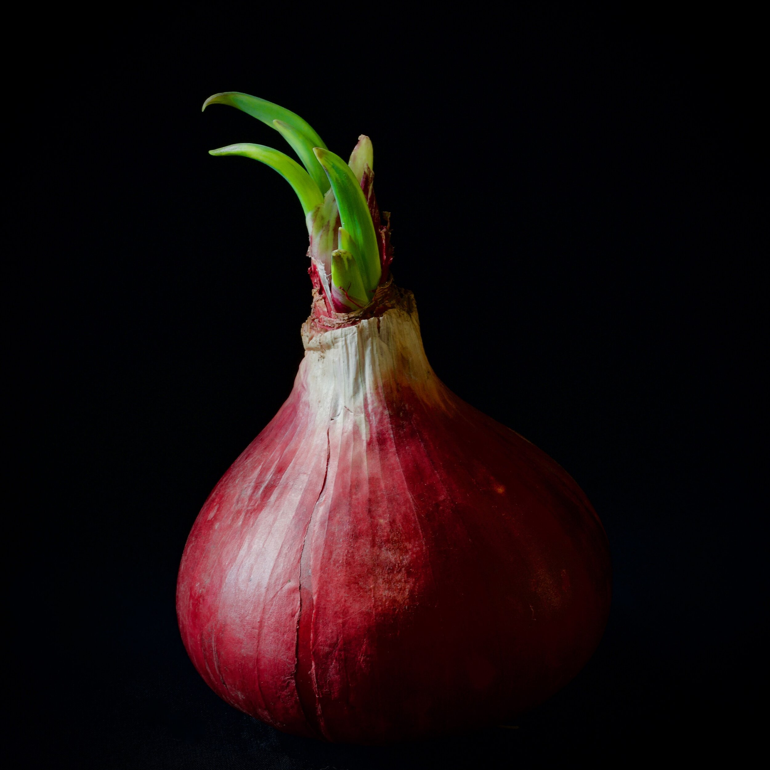 Red Onion  Camera: Fujifilm X-T3 Shutter speed: 1.6 sec Aperture: f/11 ISO: 160 Photo: Kirk McElhearn