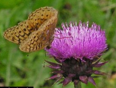 - The Musk Thistle Carduus nutans L.