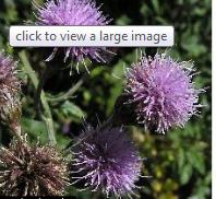 - The Canada Thistle Cirsium arvense (L.) Scop.