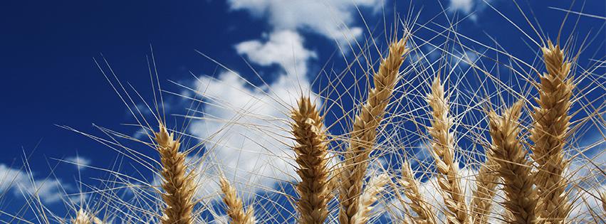 wheat banner-web.jpg