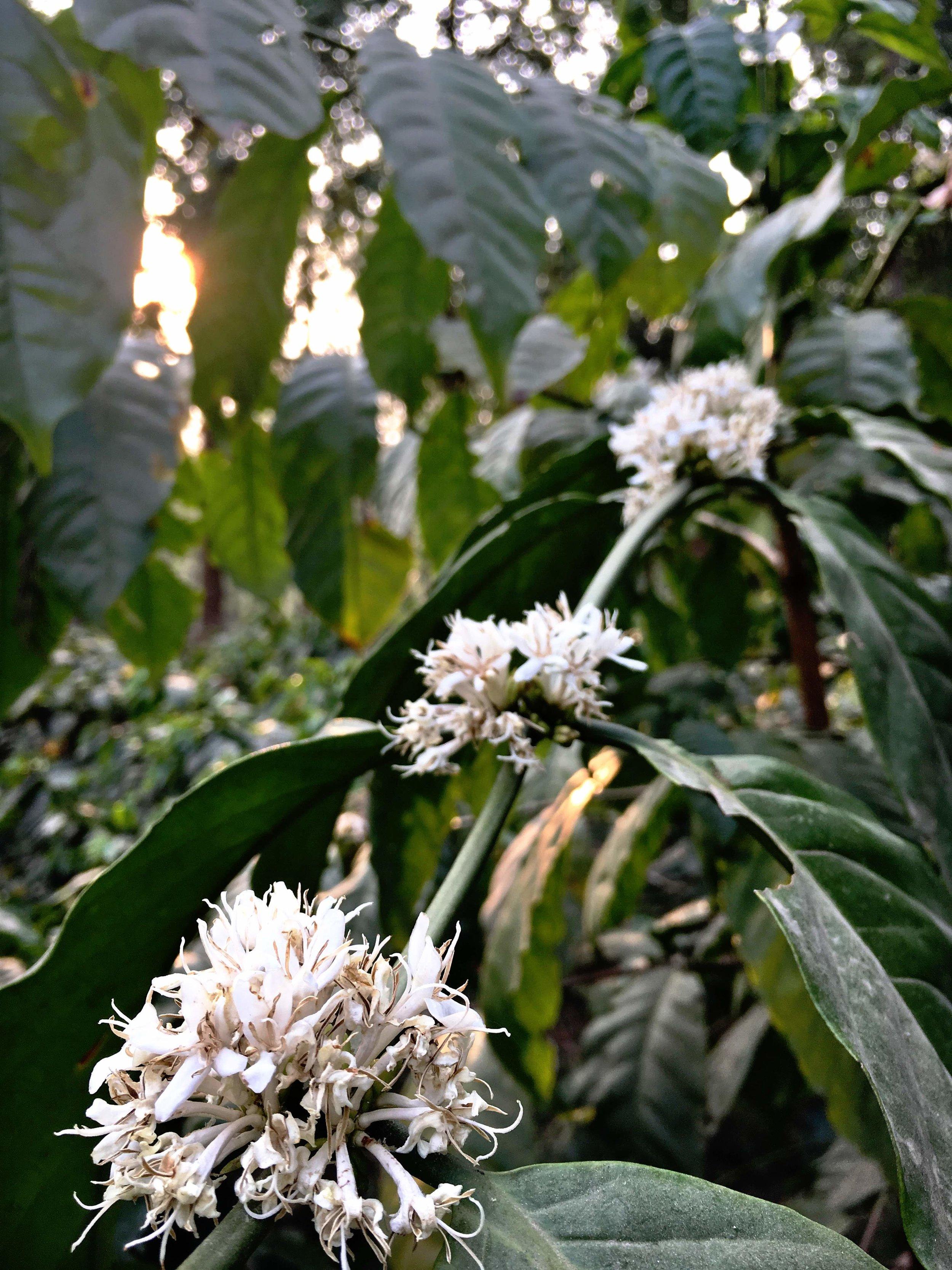 myanmar coffee flower.JPG