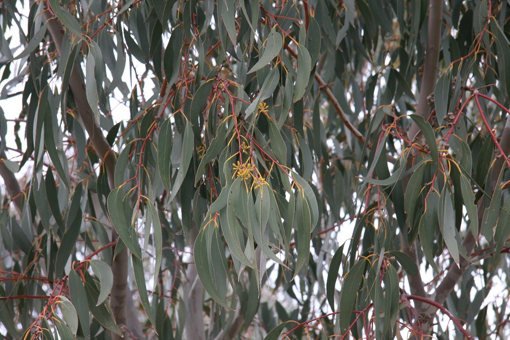 Eucalypts are budding, but without rain they are unlikely to flower.