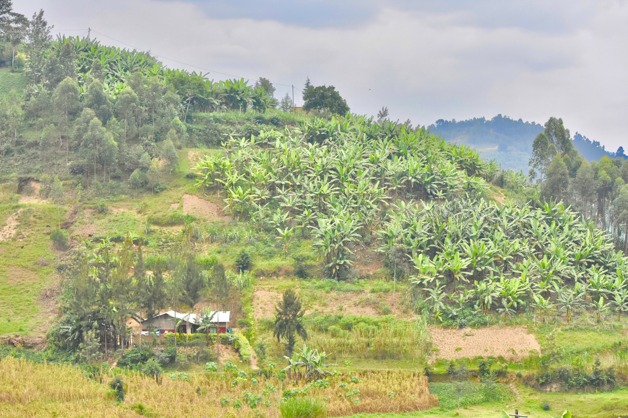 The terraces filled with banana trees