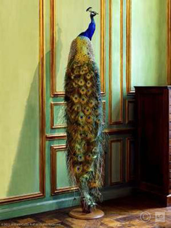 Deyrolle Peacock Against Green Boiserie