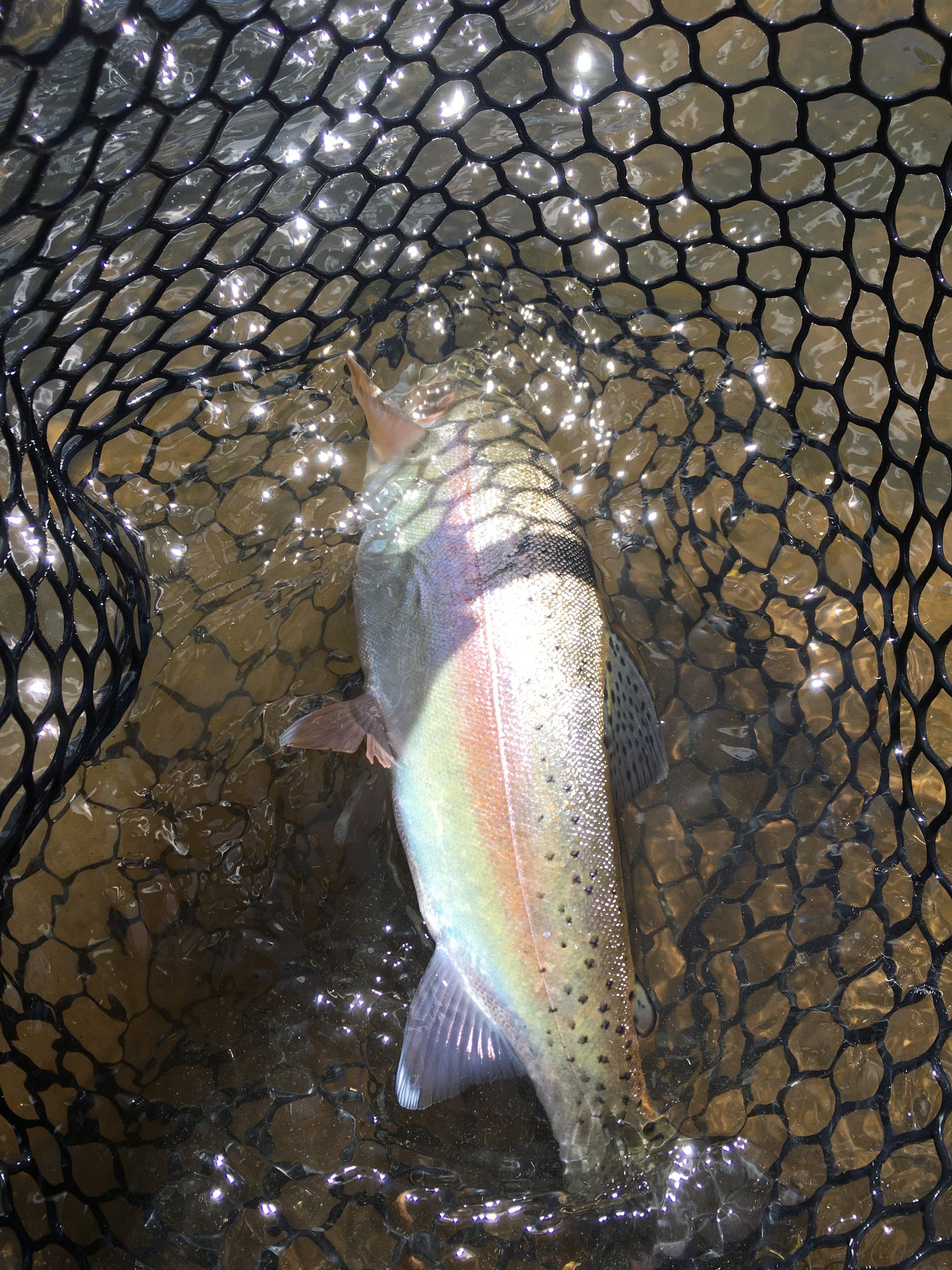 Chama River Cutbow