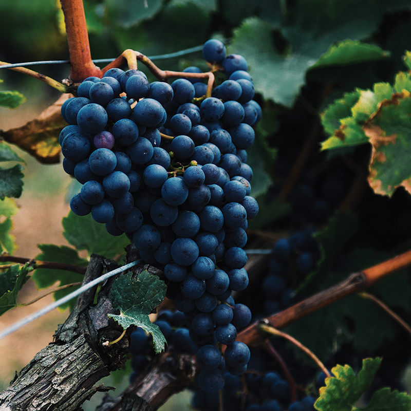 Hearts Leap Wines Grapes Vineyard