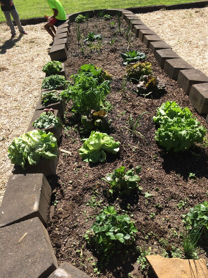 The students hard work yields large heads of lettuce in return.