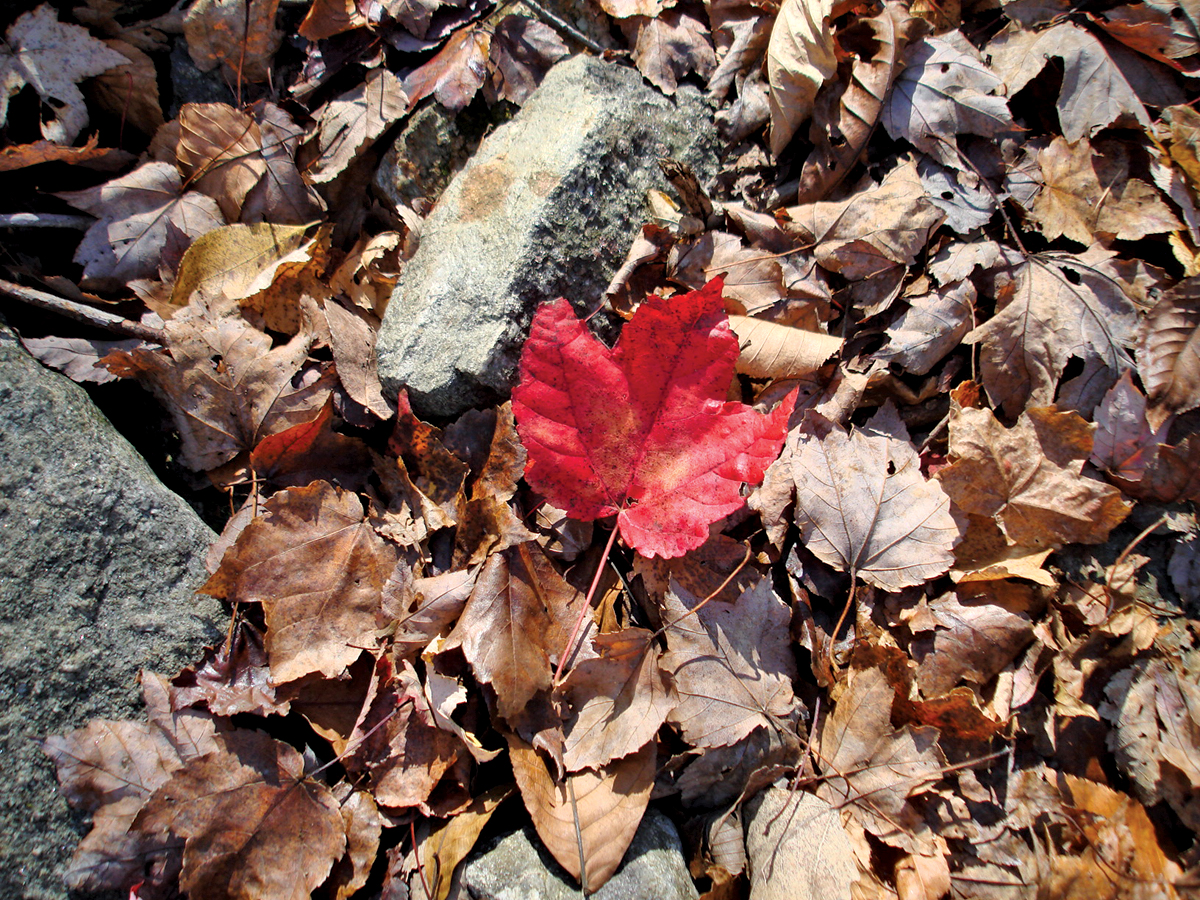 red maple leaf 2.jpg