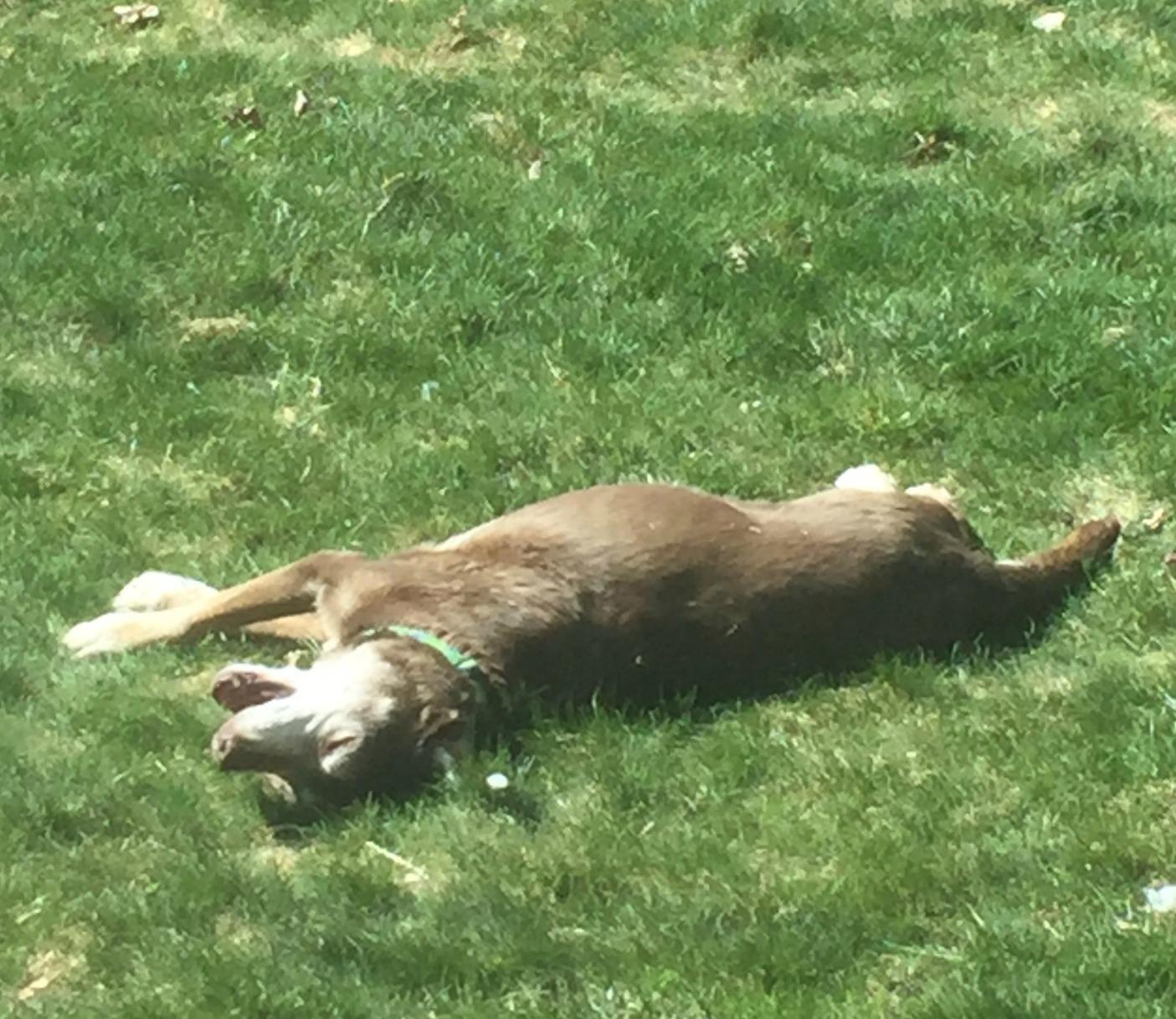 lilly sunbathing.jpeg