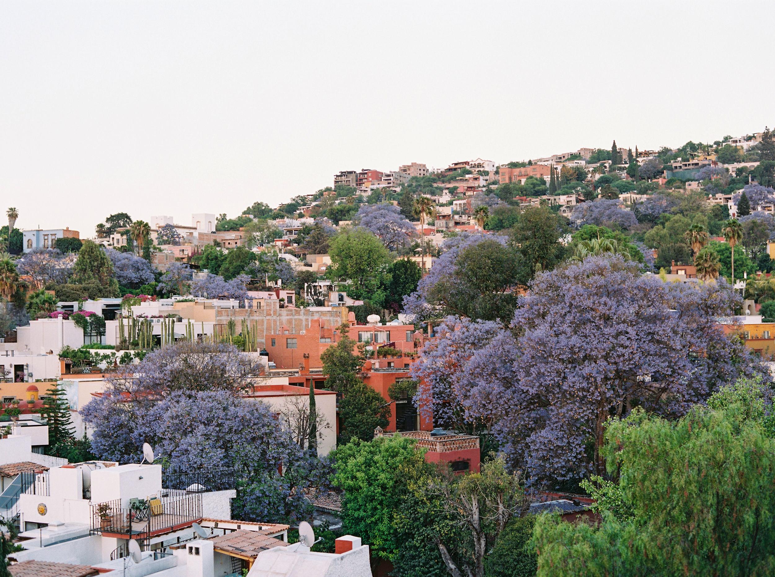san-miguel-jacaranda-trees