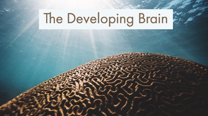 The developing brain.jpg
