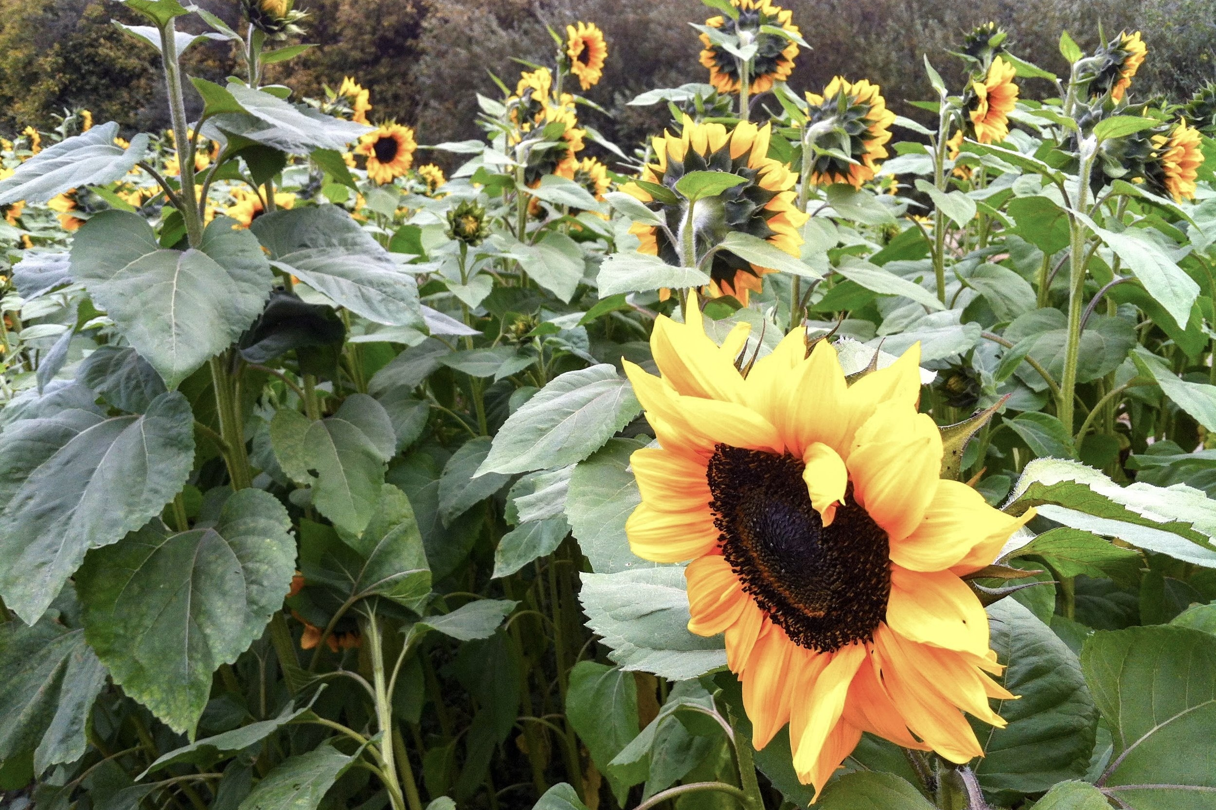 Snap a photo with these tall sunflowers at Avila Valley Barn.