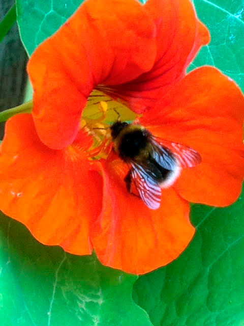 photo-or-orange-flower-and-bumble-bee-in-sculpture-garden-portland-dorset.jpg