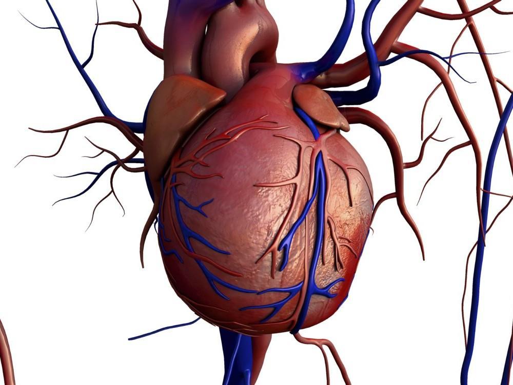 El corazón tiene el tamaño de un puño grande cerrado