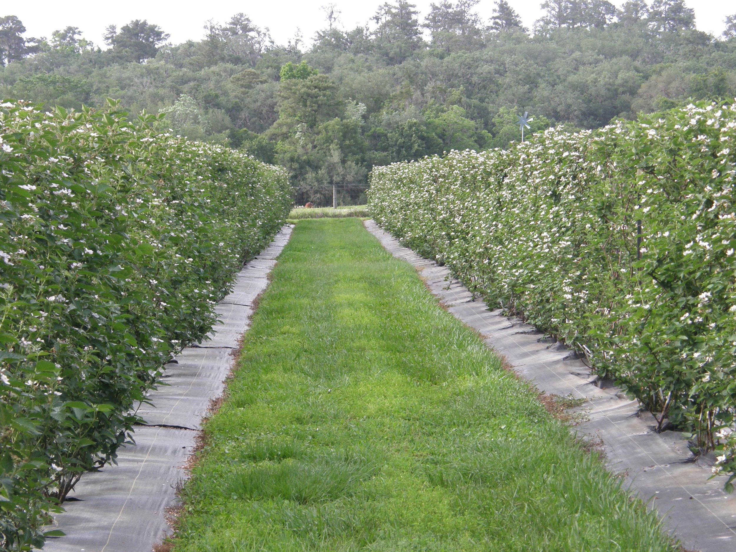 Blackberries in bloom.JPG