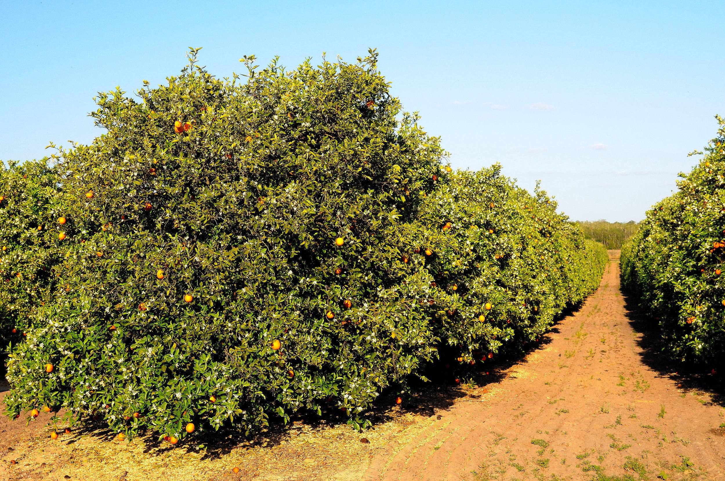 ZZP_citrus.jpg