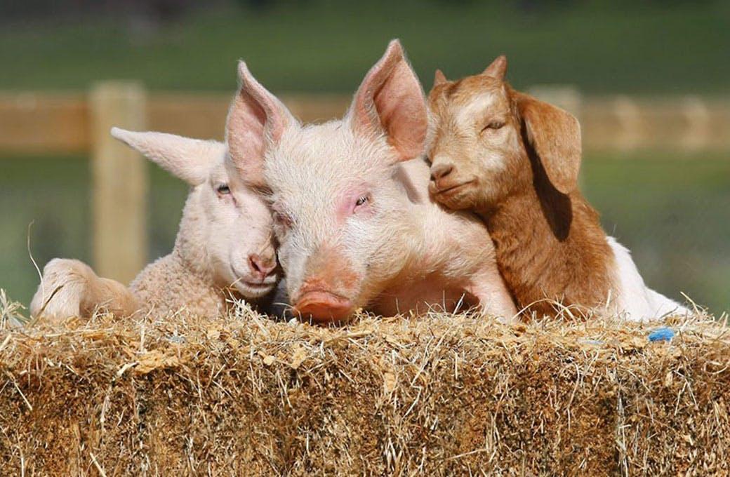 Rescued_farm_animals.jpg