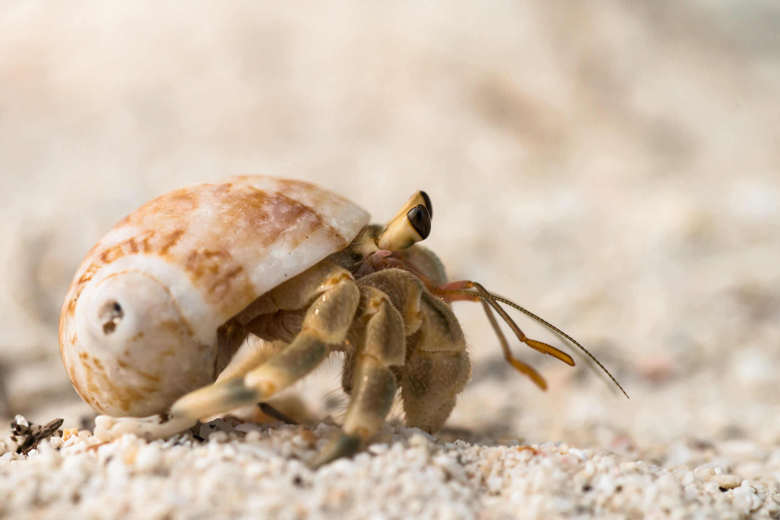 Freedom for Hermit Crabs - We are proud to be funding the first nationwide initiative advocating for wild hermit crab freedom launched by a grassroots organization called Plight of the Hermies. This initiative is centered around a corporate campaign focusing on Sunsations (one of the largest retailers of beach products on the East Coast) to remove hermit crabs from sale in its stores. These wonderful complex little creatures can live over 30 years in the wild, but barely survive a few months captive in their tiny cages. Our funds will be used for print materials, billboard advertising, beach sand art, protest organization, and petition deliveries. The objective of the campaign is for Sunsations to commit to ending the sale of hermit crabs as trinkets, with the anticipated effect of bringing other retailers to commit to the same and thereby saving the lives of hundreds of thousands of animals!(Photo credit: thai national parks)