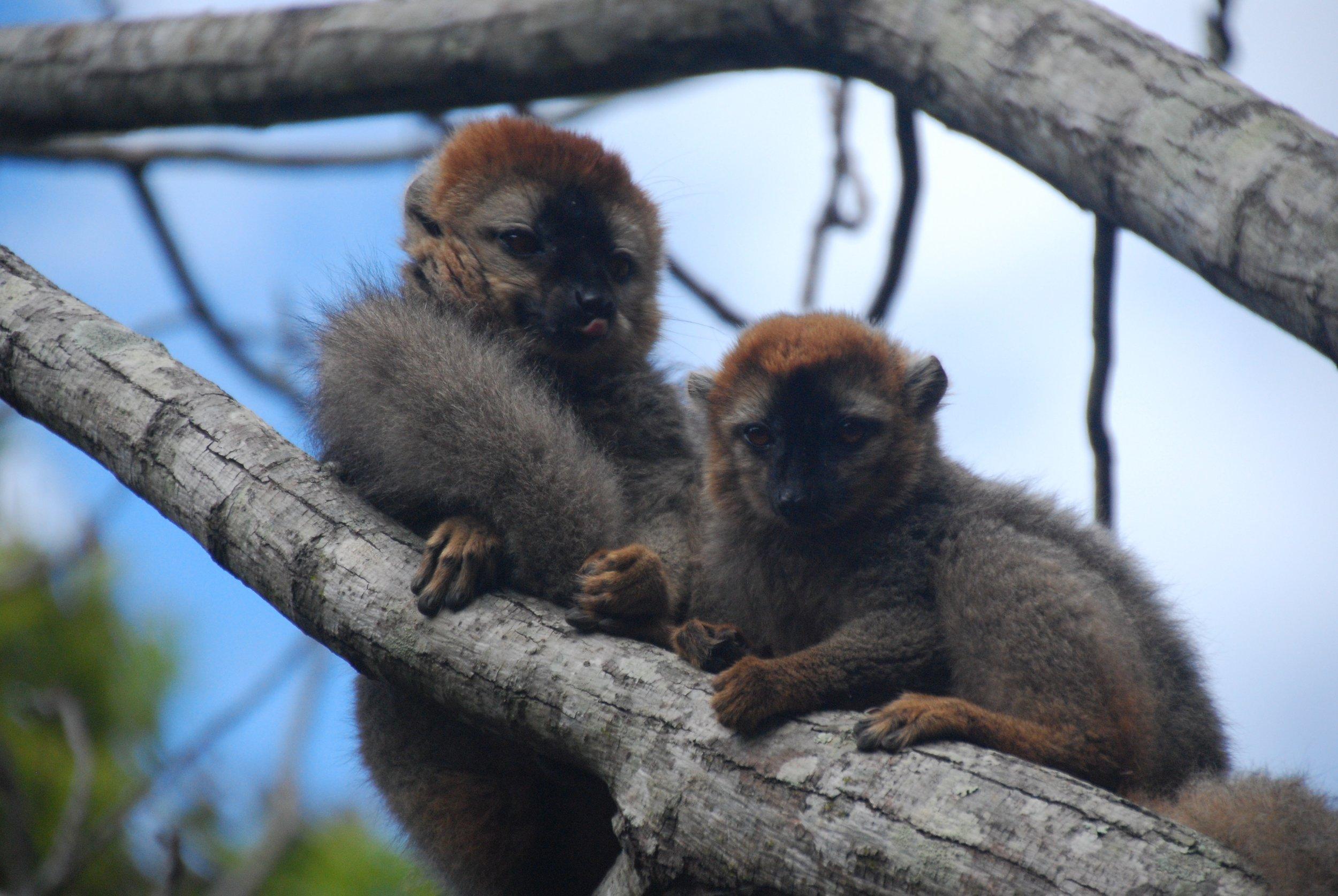 Red fronted lemurs_TClarke.jpg