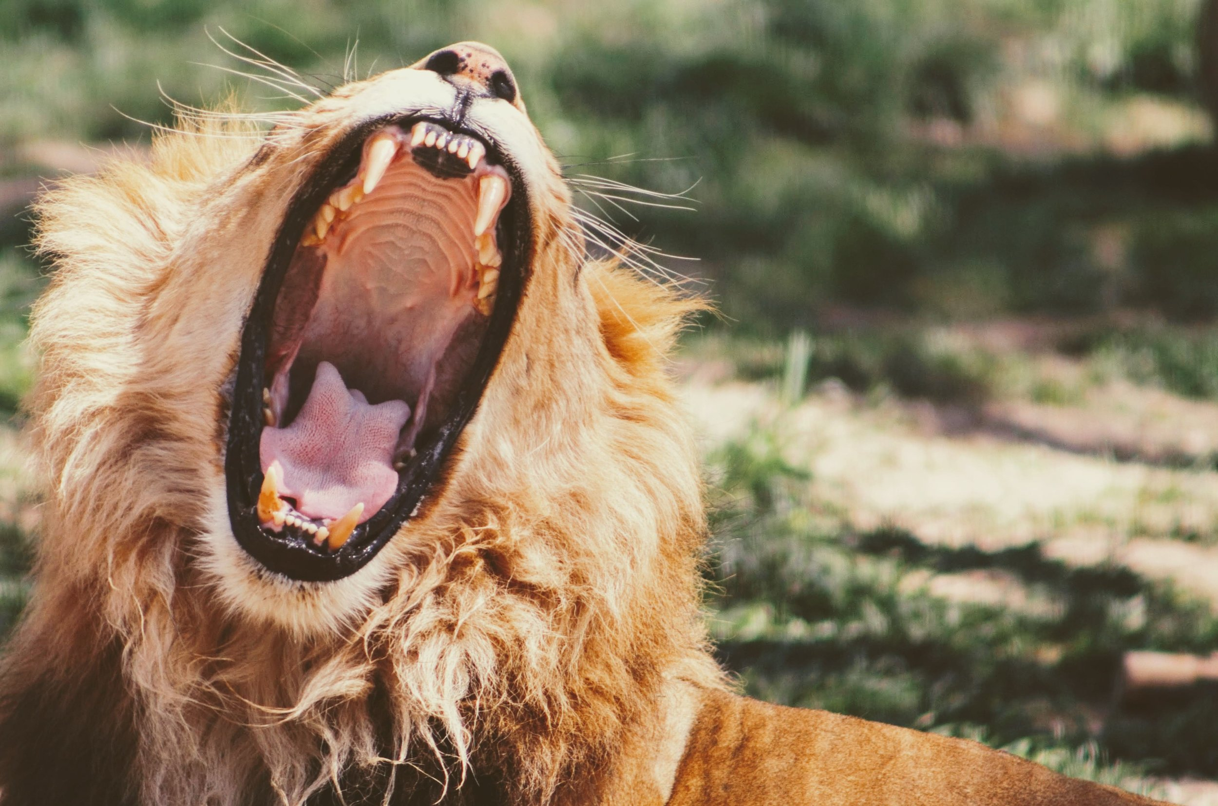a lion roars exposing huge teeth - our stress response has remained the same since caveman days