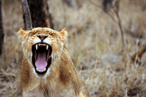 a lioness roars with wide open mouth showing large teeth - how to speak your truth with courage