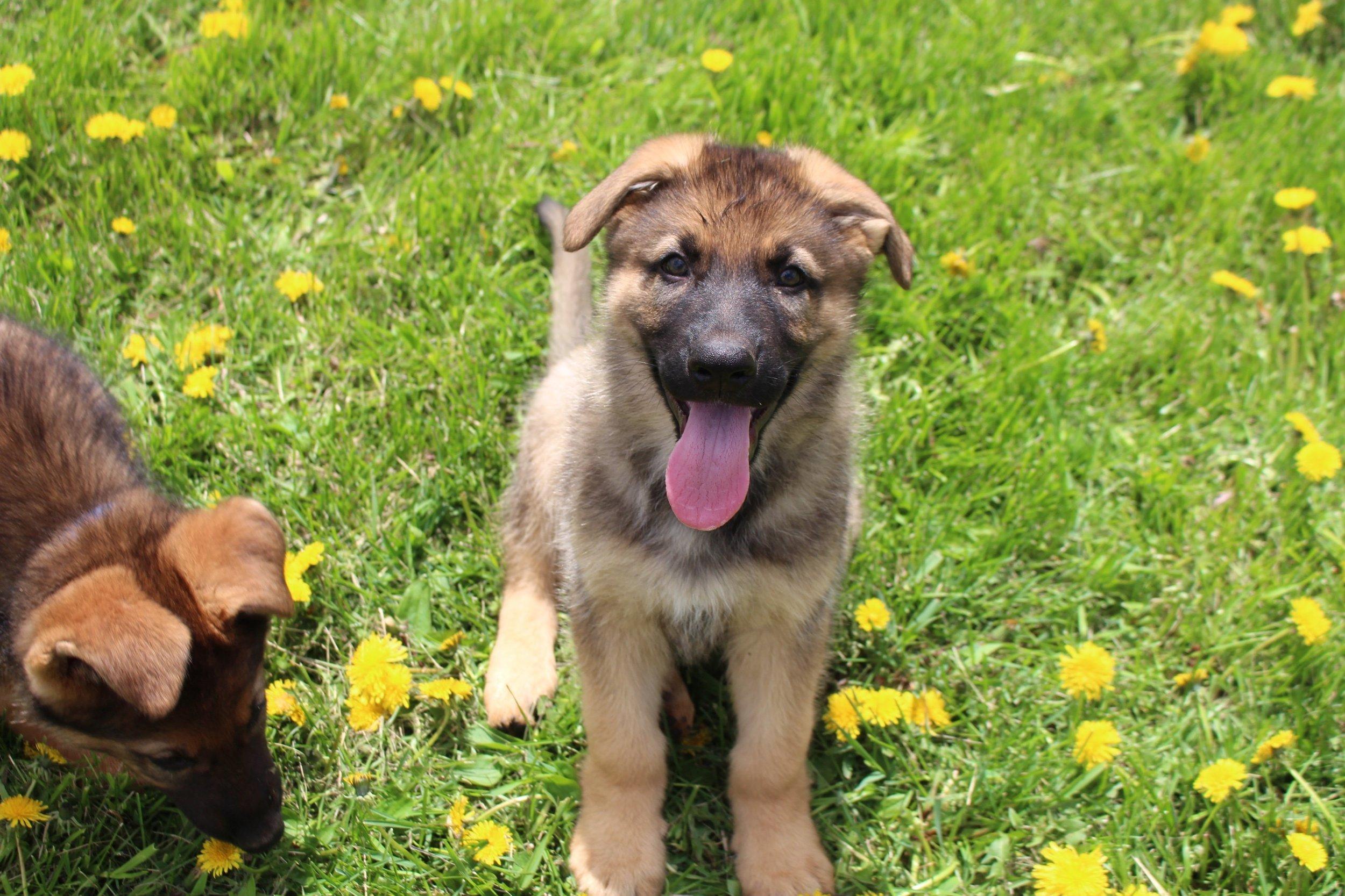 Playful pups G.jpg