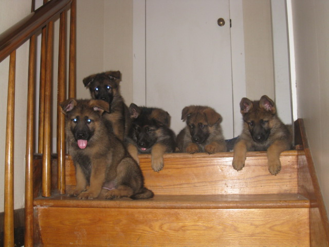 PUPS ON STAIRS A.jpg