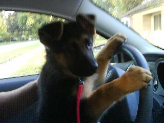 Puppy driving .jpg