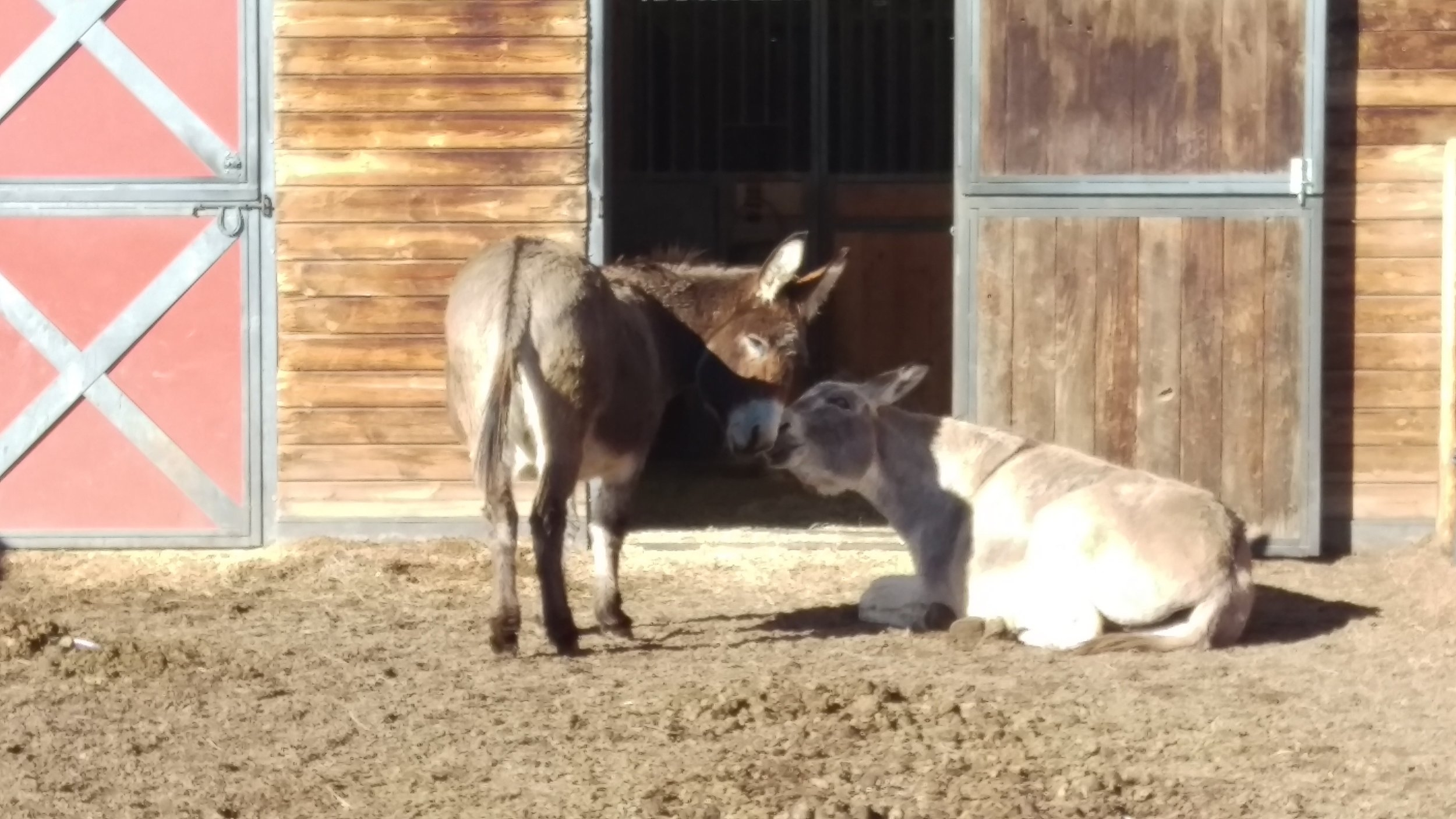 Jenivieve and Gatspy - Gatspy and Jenivieve are two donkeys who love spending their days here at the ranch lounging in the sun and enjoying life. They currently live at the Little Barn and can occasionally be heard 'hee-hawing' or braying around dinner time.