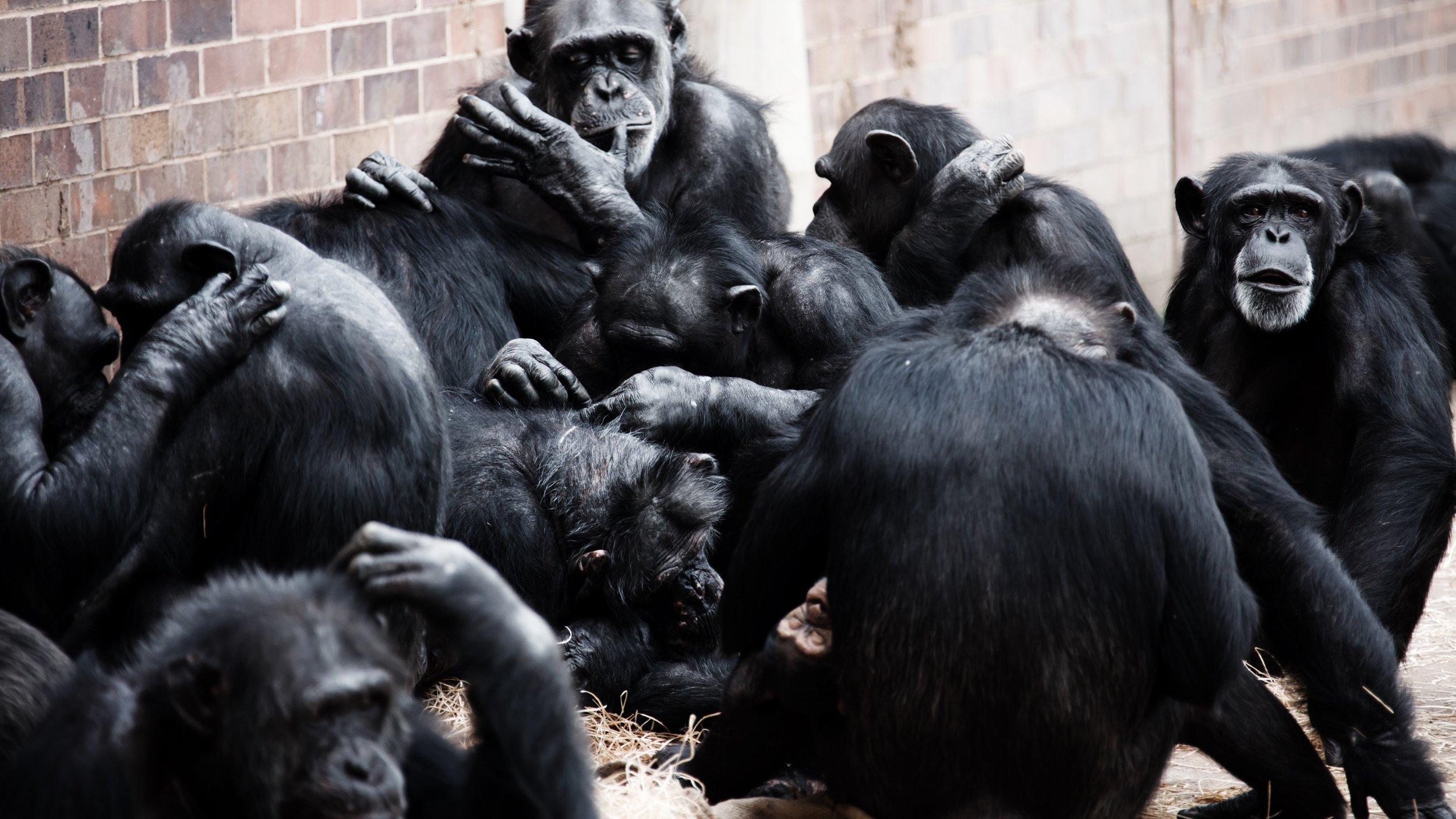 animal-ape-apes-276891.jpg
