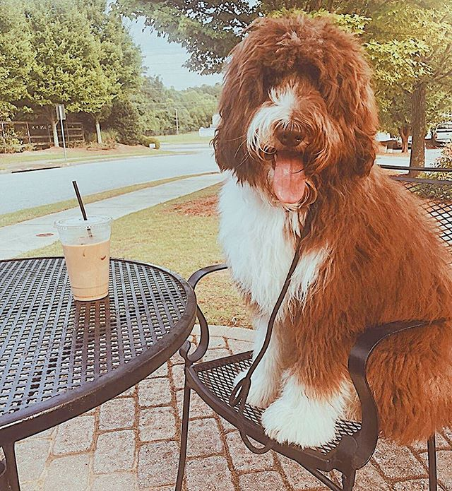 We love our regular customers, especially the furry ones! Don't forget that our outside seating is fur-friendly!! ☕️🐾 Special thanks to @roger_mountain_doodle for sharing this cute picture with us!