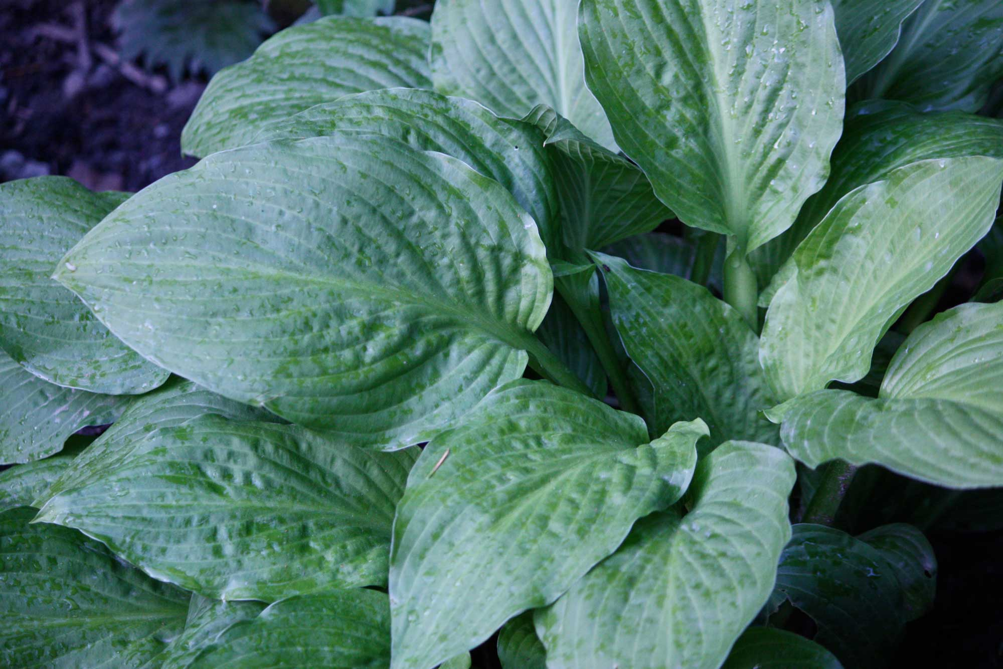 green-cool-hosta_web.jpg