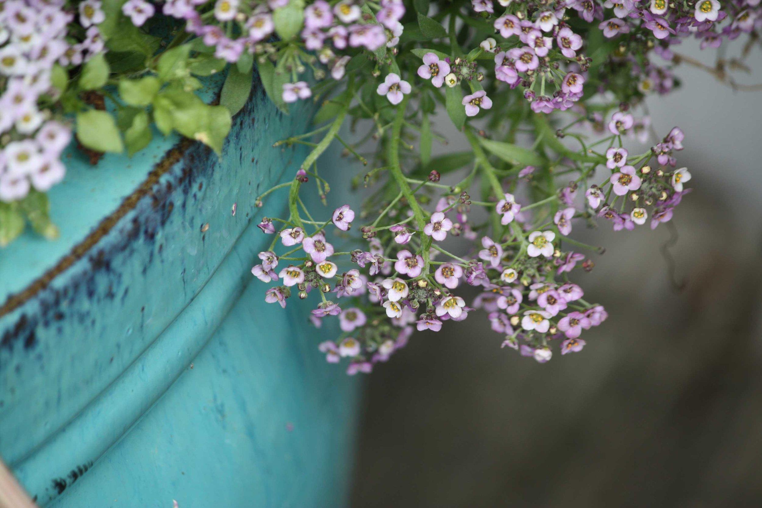 DrippingPurpleBlossoms_web.jpg