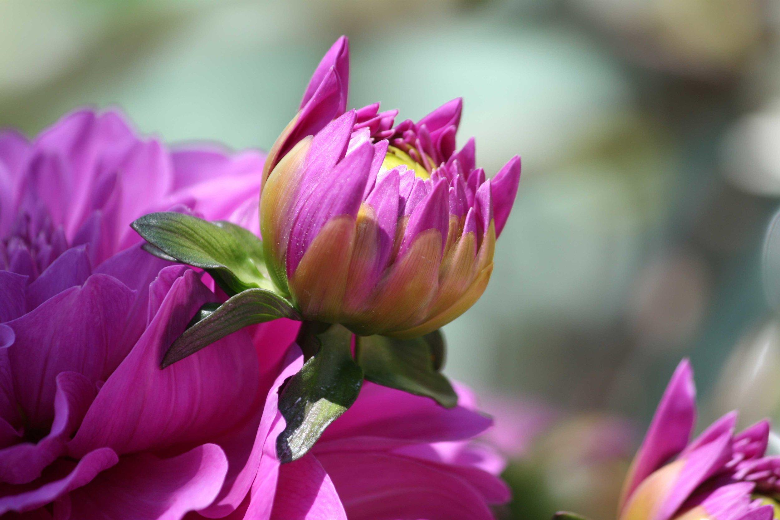 Pink-Dahlia-Bud_web.jpg