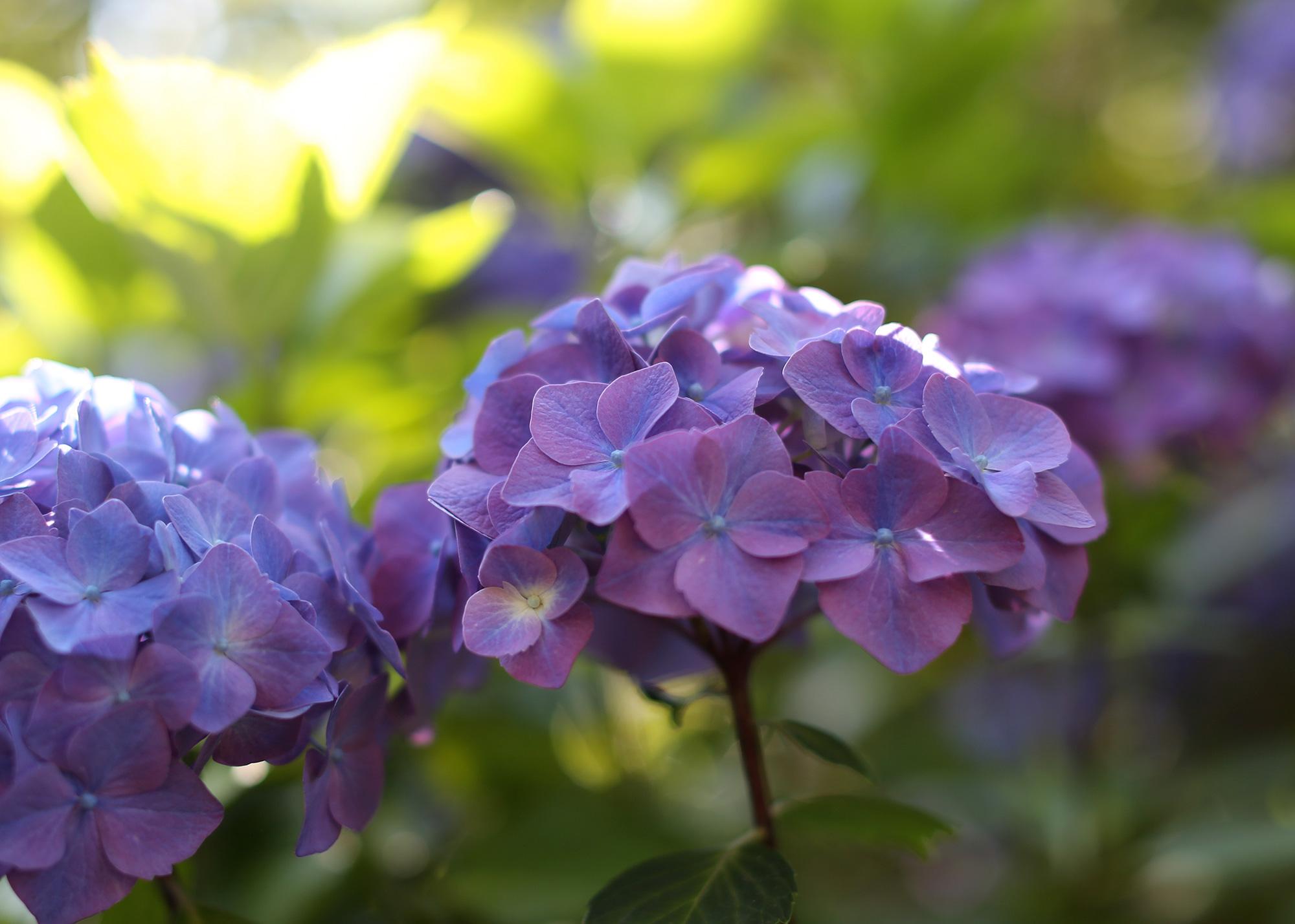 Purple-Hydrangea2_web.jpg
