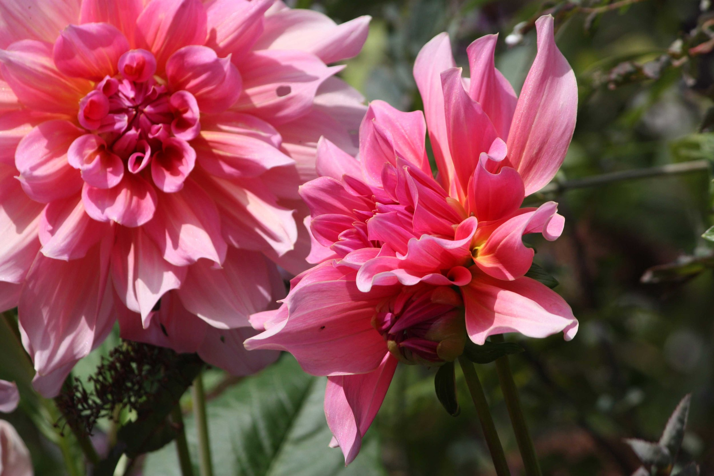 Hot-Pink-Dahlia_web.jpg