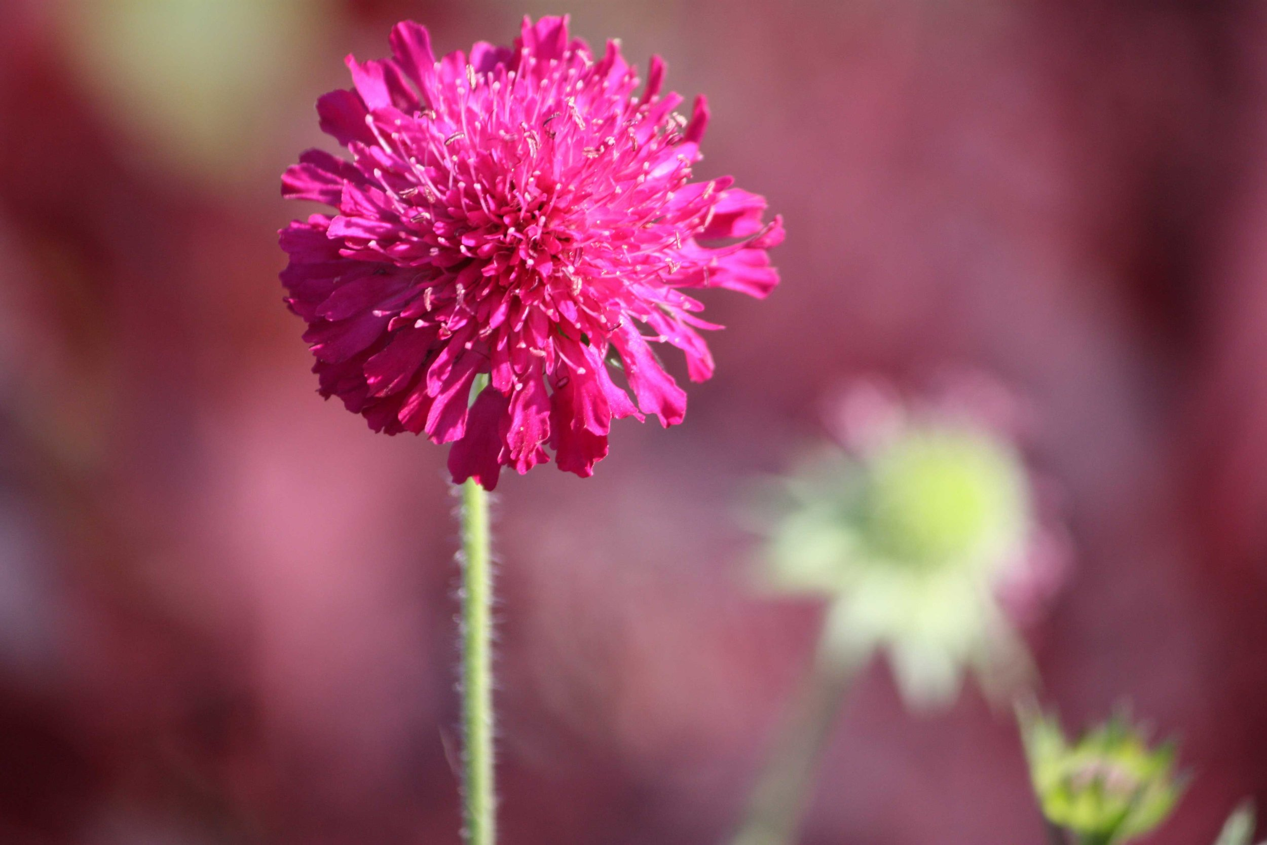 Pink-Bachelor-Button_web.jpg