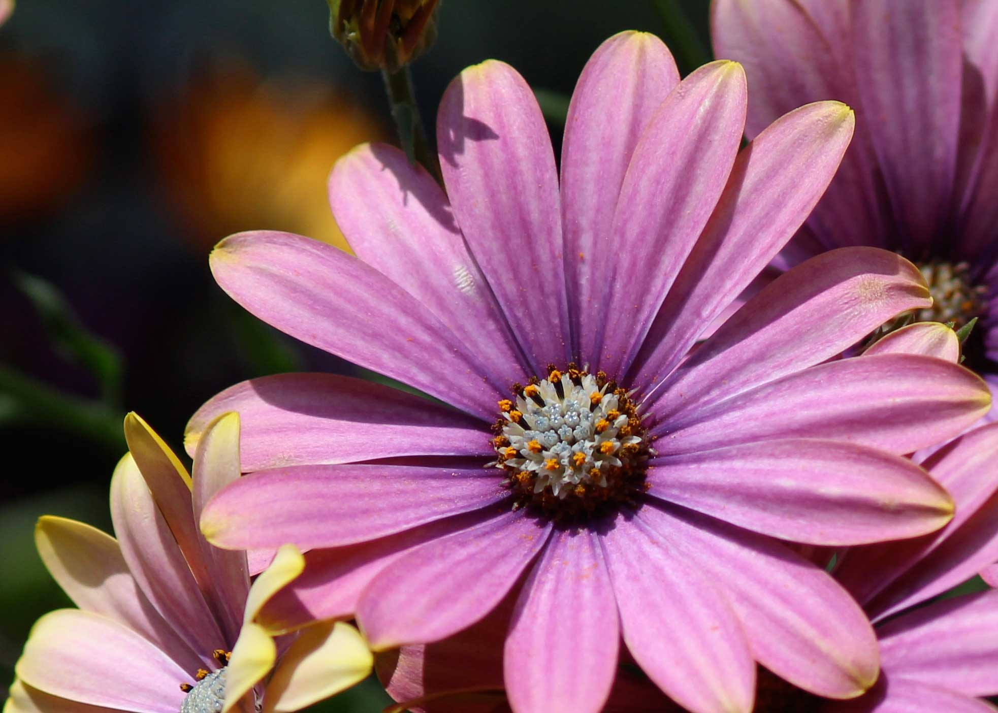 Pink-African-Daisy_web.jpg