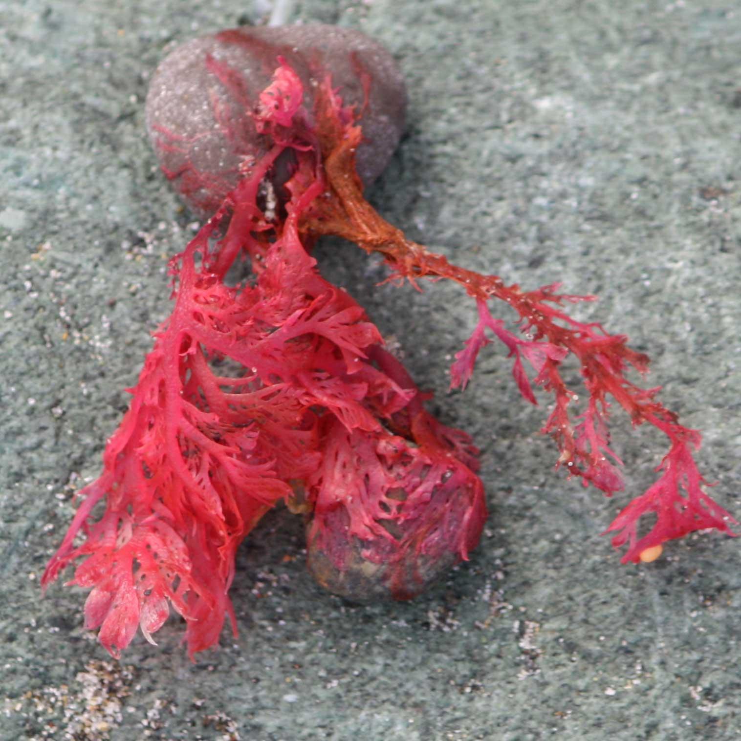 Seaweed-hot-pink-close-up-square_web.jpg
