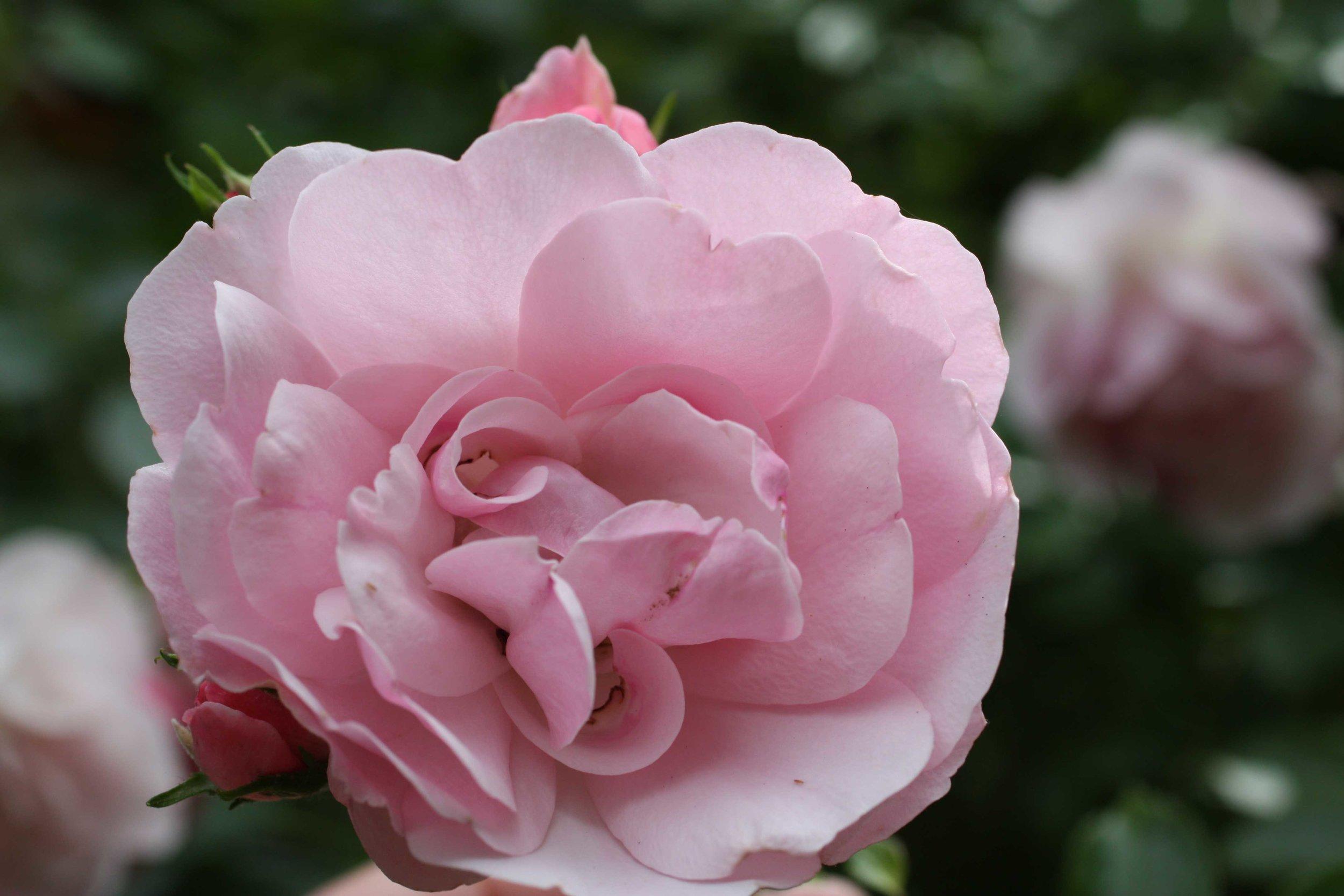 rose-pink_web.jpg