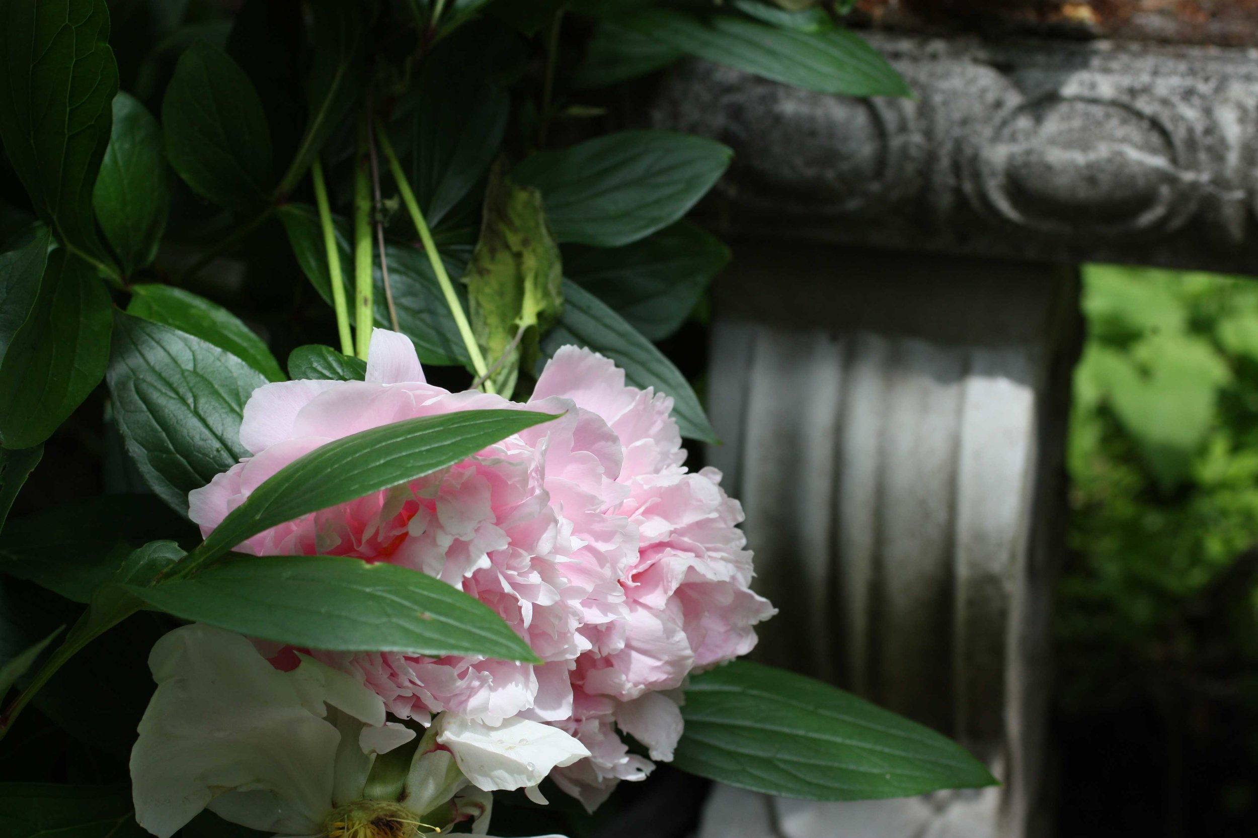 pink-peony-in-front-of-garden-bench_web.jpg