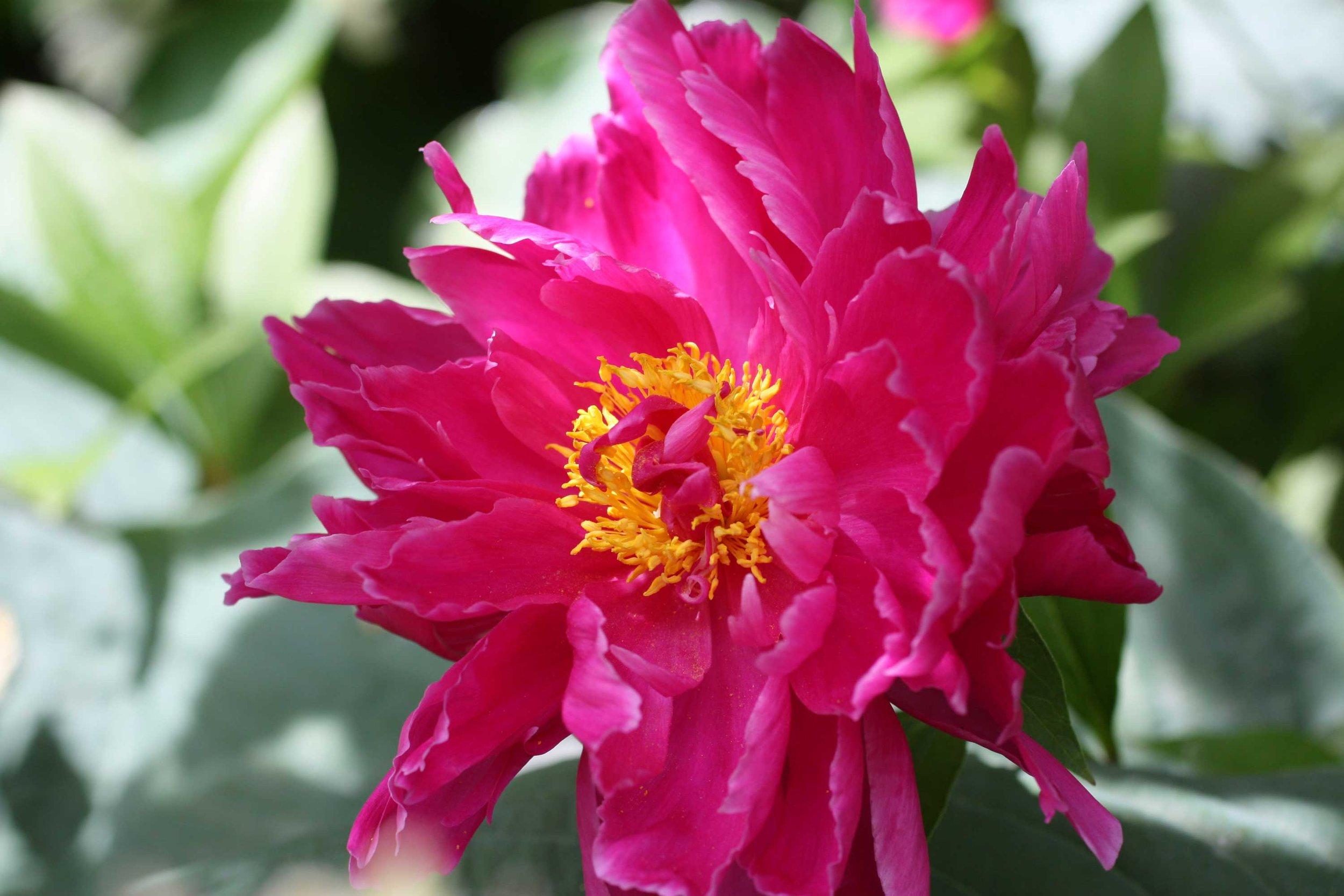 peony-hot-pink-Sherri_web.jpg