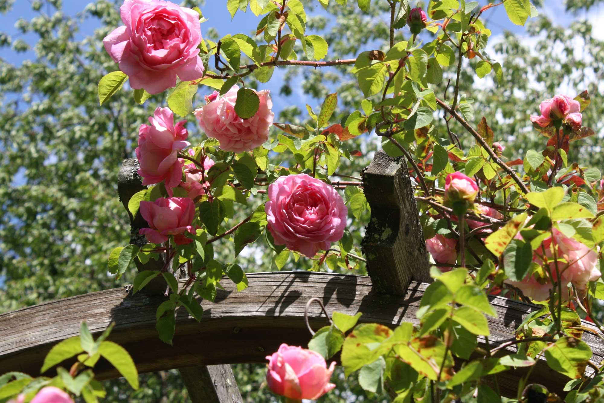 Rose-pink-climber_web.jpg