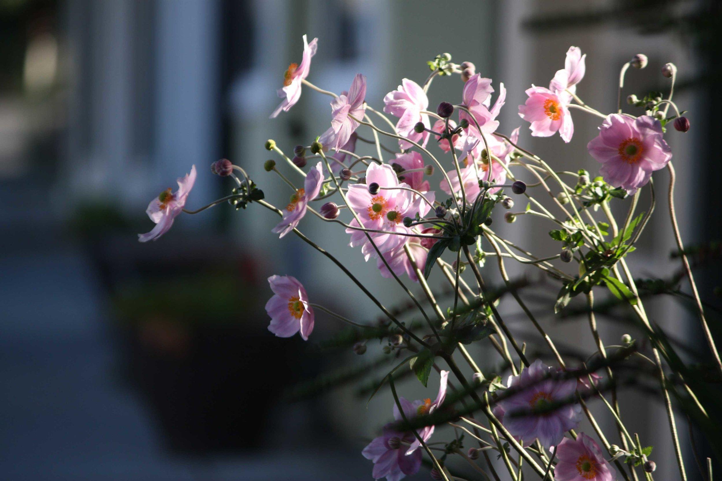 pink-anemone-bush-web.jpg