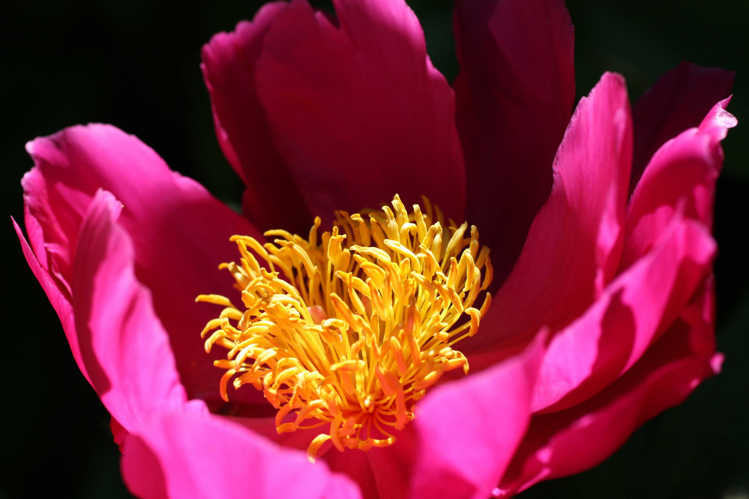 80_Pink-Peony-with-yellow-center_rgb_opt_web.jpg