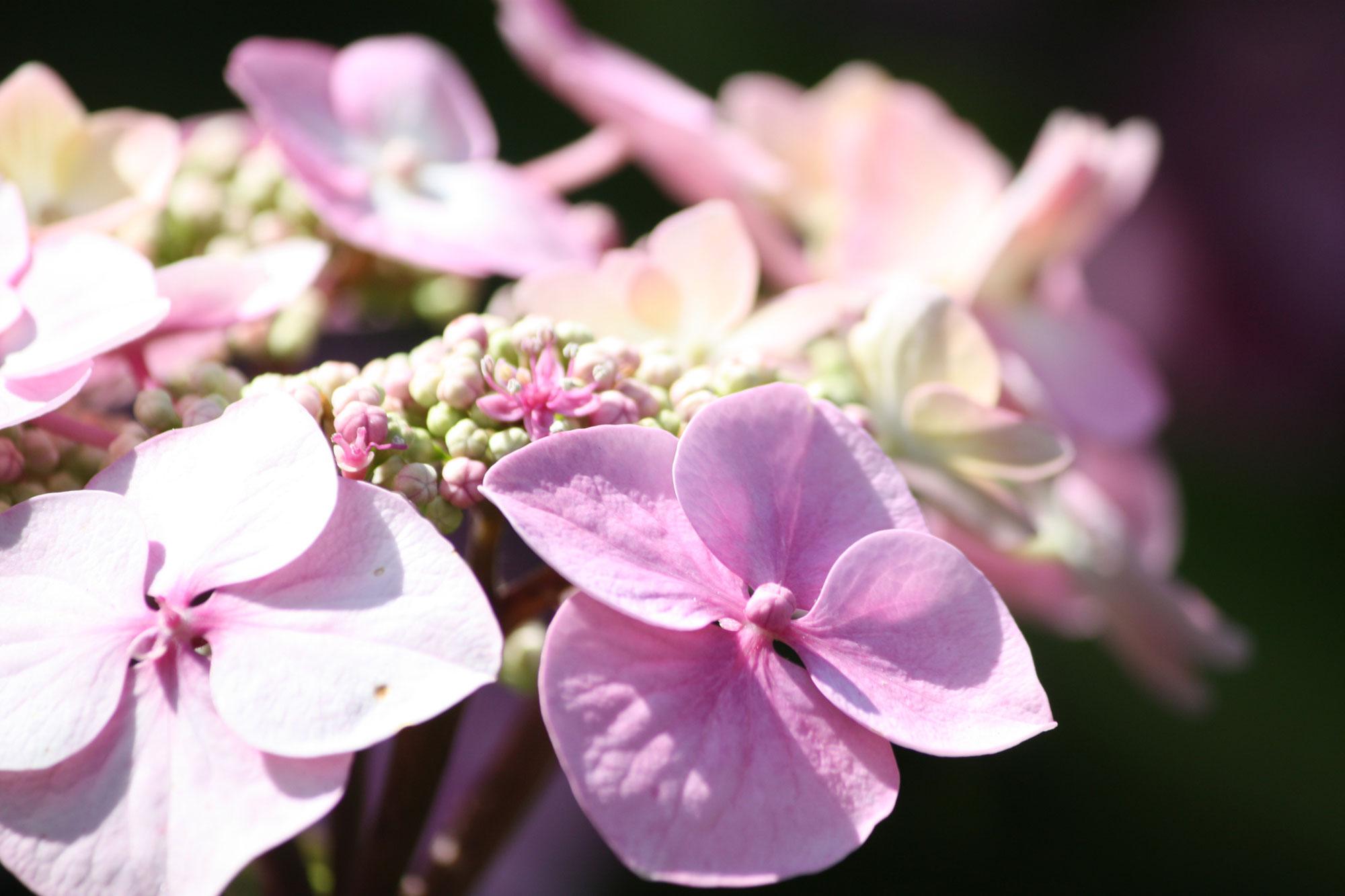 Soft-Pink-Hydrangea_web.jpg