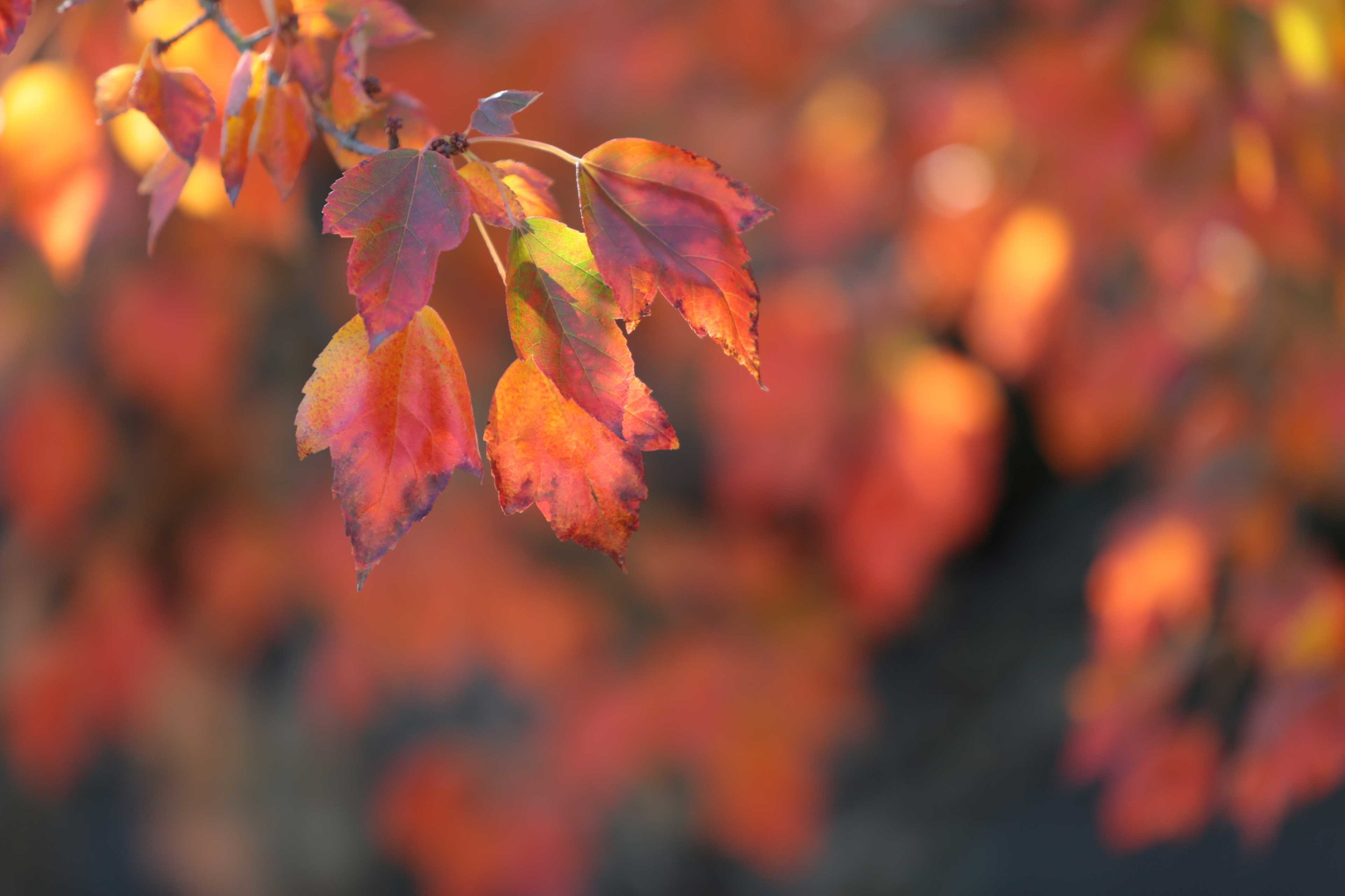 Autumn-Leaves_Red-Maple_web.jpg