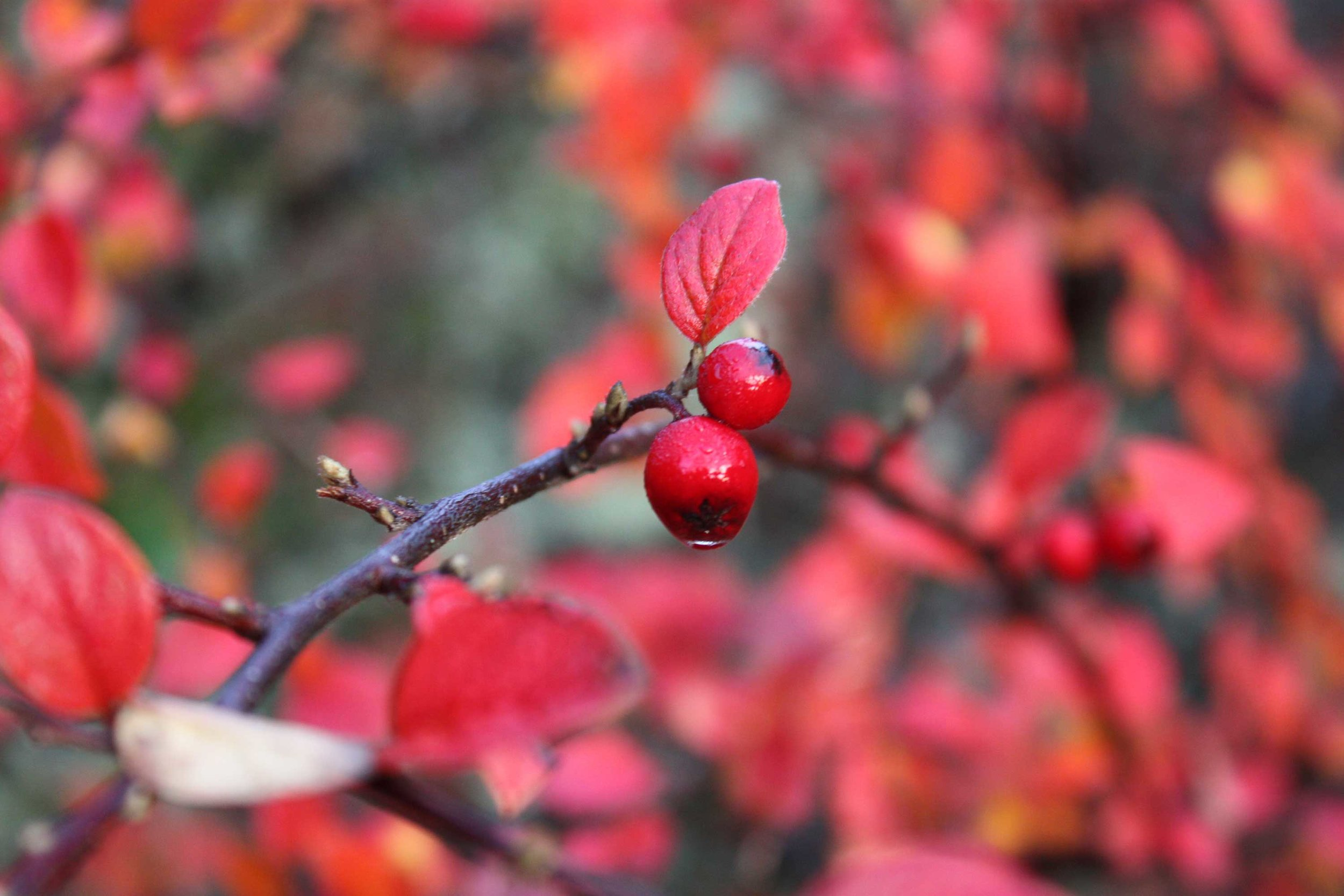 Red-Cotoneaster_web.jpg