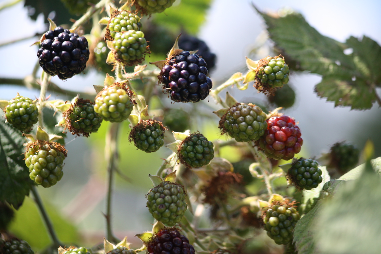 Blackberries on vine web.jpeg